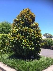 درختچه ماگنولیا تابستانه (همیشه سبز) 1