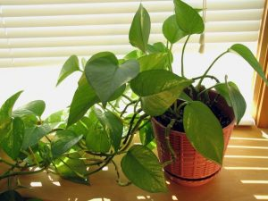 معرفی و نحوه نگهداری از گیاهان رونده