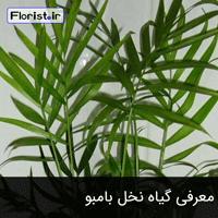 معرفی گیاه نخل بامبو