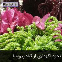 نحوه نگهداری از گیاه پیرومیا