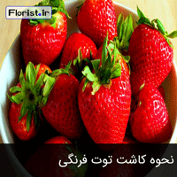 نحوه کاشت توت فرنگی در منزل