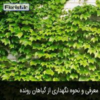 معرفی و نحوه نگهداری از گیاه رونده